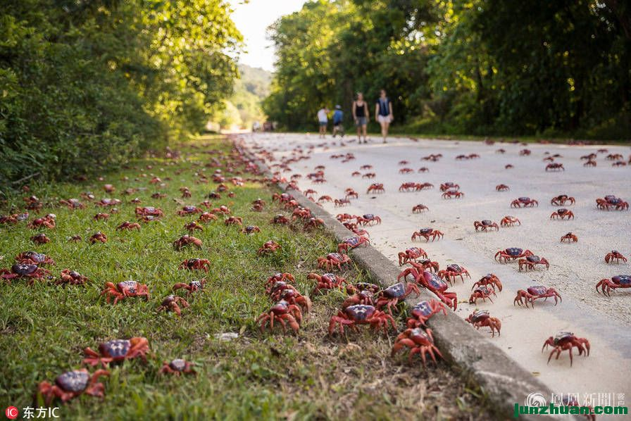 澳洲数百万只红蟹大迁徙